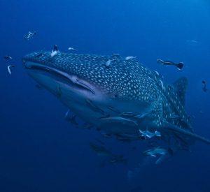Whale Shark Koh Tao duiken met ScubaCenterAsia