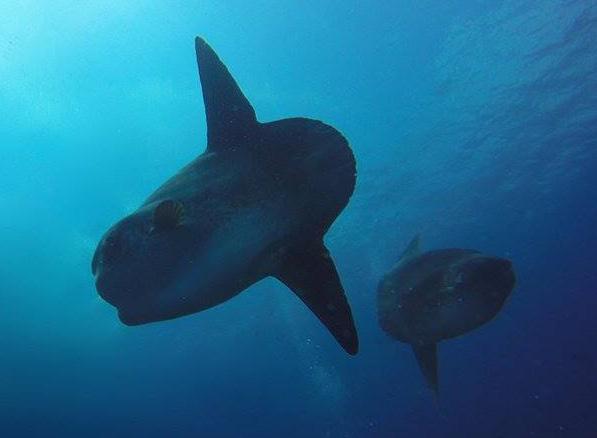 Nusa Penida Mola Mola