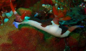 nudibranch at lembongan penida