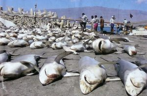 The ugly truth of shark finning