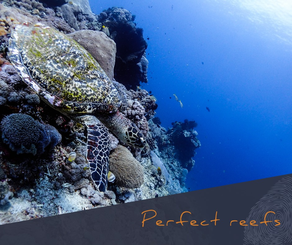 diving for beginner diving lembongan pristine coral reefs